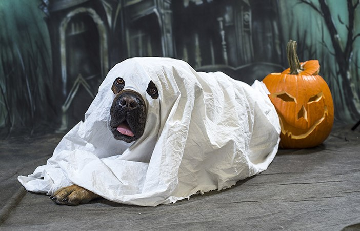 Dog Dressed as Halloween Ghost with Pumpkin